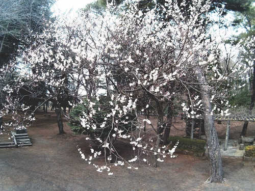 sj4000wifi-sakura.jpg